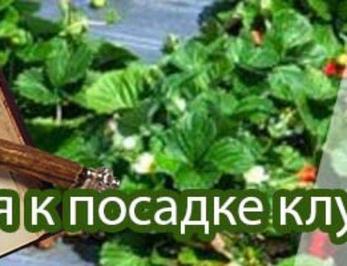 Рекомендации по посадке земляники садовой (клубники)