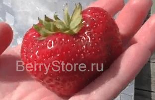 сюзетта клубника земляника крупноплодная susette сорт