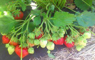 roxana Роксана сорт клубники садовой земляники