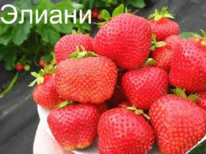 клубника элиани садовая крупноплодная земляника