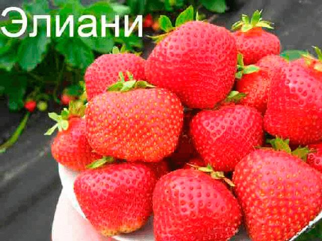 Сорт клубники Элиани