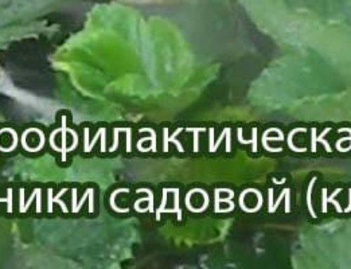 Осенняя профилактическая обработка земляники садовой (клубники)