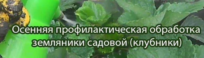осенняя обработка земляники садовой, клубники