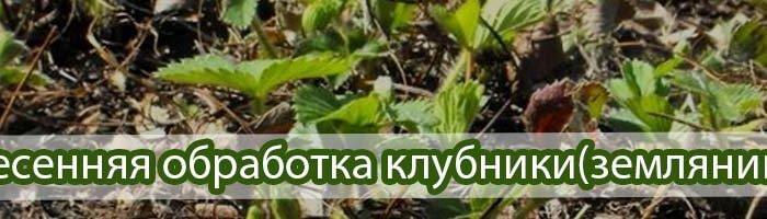 Весенняя обработка клубники (земляники садовой)
